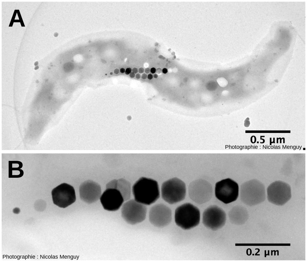 Bactérie magnétotactique