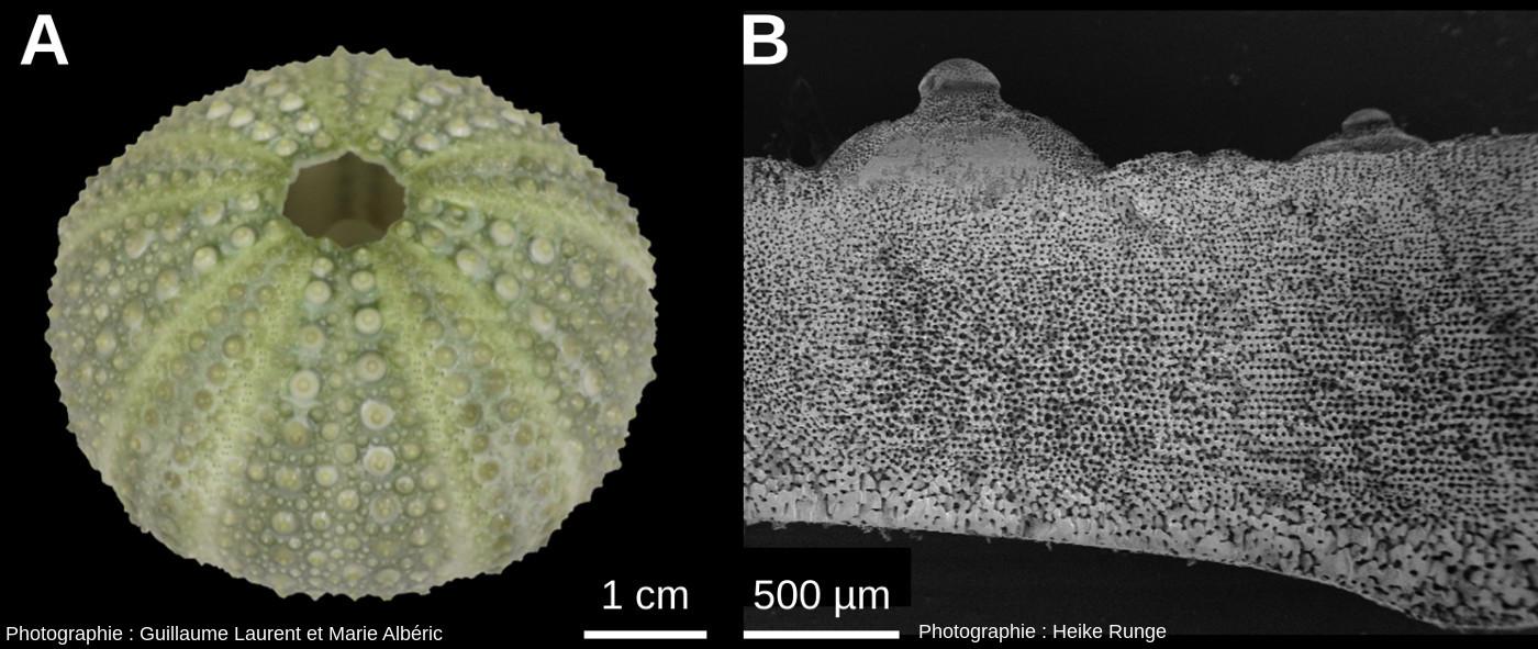 Test de l'oursin Paracentrotus lividus
