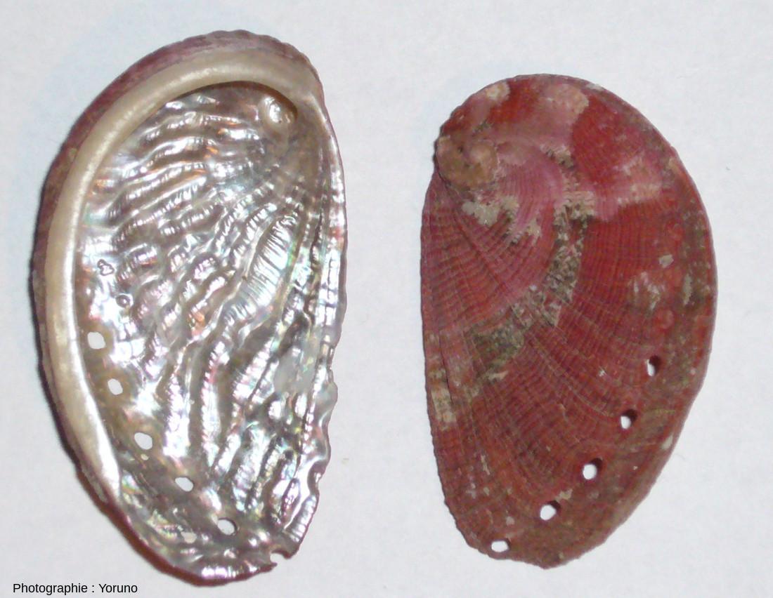 Coquille d'ormeau (Haliotis tuberculata) vue de l'intérieur et de l'extérieur