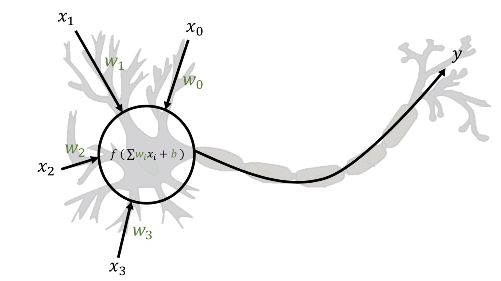 Schéma d'un neurone informatique superposé à un schéma de neurone biologique